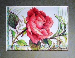 A radiant rose